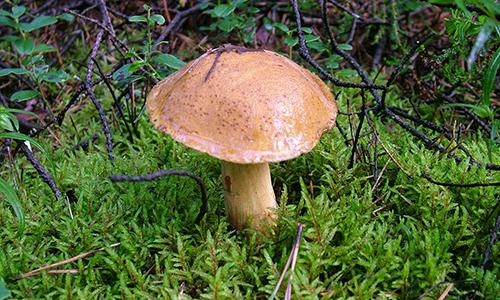 Моховик желто-бурый в лесу