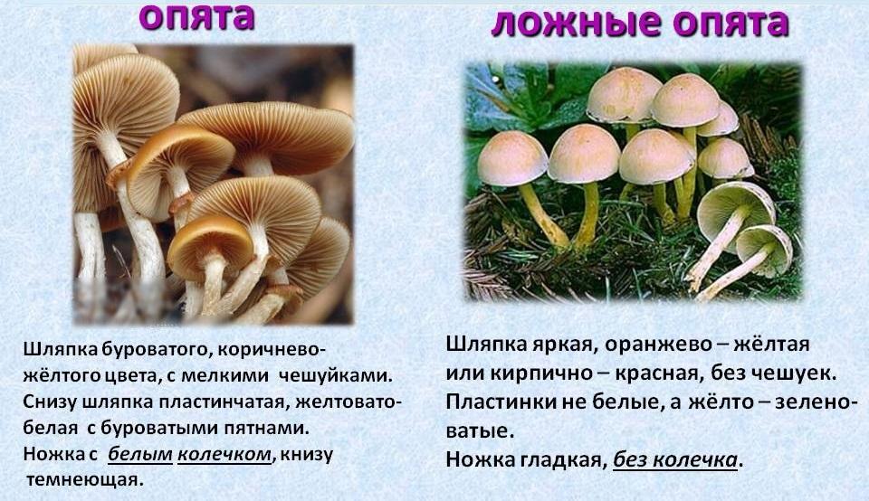 как готовить грибы опята и сколько варить