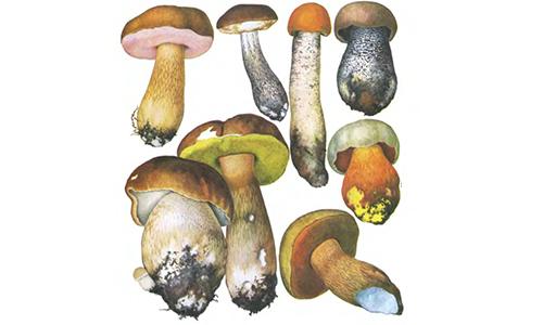 Семейство трубчатых грибов