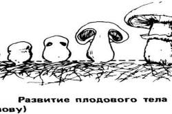 Схема развития плодового тела шампиньонов