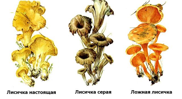 лисички ложные грибы фото как отличить