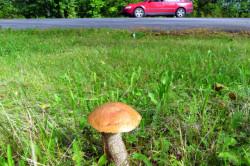 Вред грибов, растущих у дороги