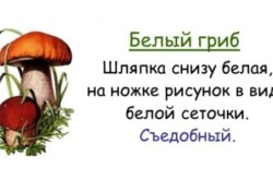 Признаки белого гриба
