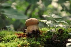 Дубовый белый гриб