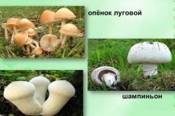 Другие виды ранних луговых грибов