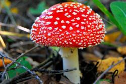 Мухомор - ядовитый пластинчатый гриб