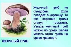 Признаки желчного гриба