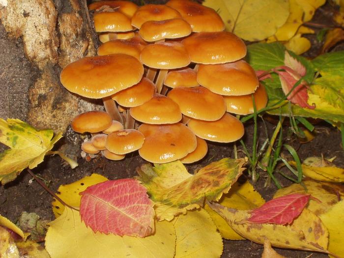 Скачать фото грибы опята