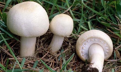 лесной гриб шампиньон фото