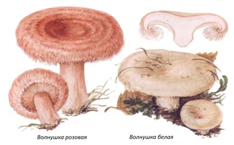 как пожарить волнушки грибы