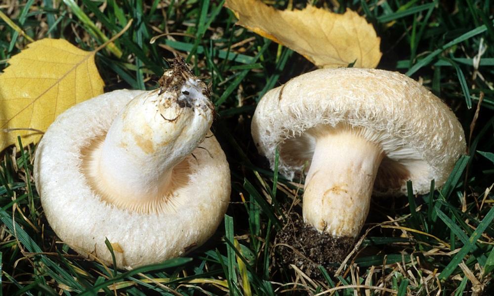 Картинки белянки грибы